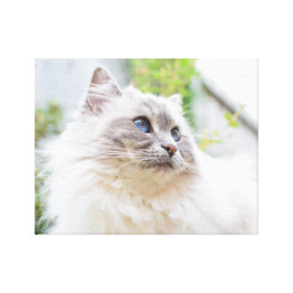 Cute Ragdoll Cat Canvas Canvas Print
