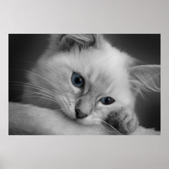 Cute ragdoll kitten poster