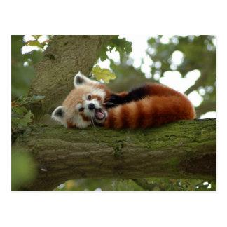 Cute Red Panda Bear Nature Destiny Post Cards