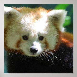 Cute Red Panda Poster