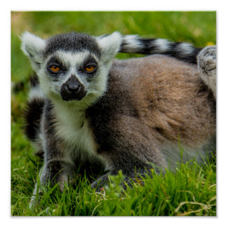 Cute ring tail lemur design products poster