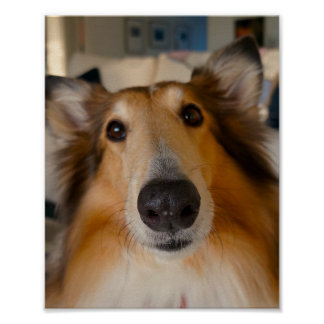 Cute rough collie poster