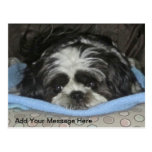 Cute Sad Eyed Shih Tzu Puppy Postcard