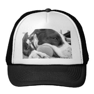 cute sad looking pitbull dog black white with ball cap
