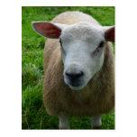 Cute Scottish Sheep
