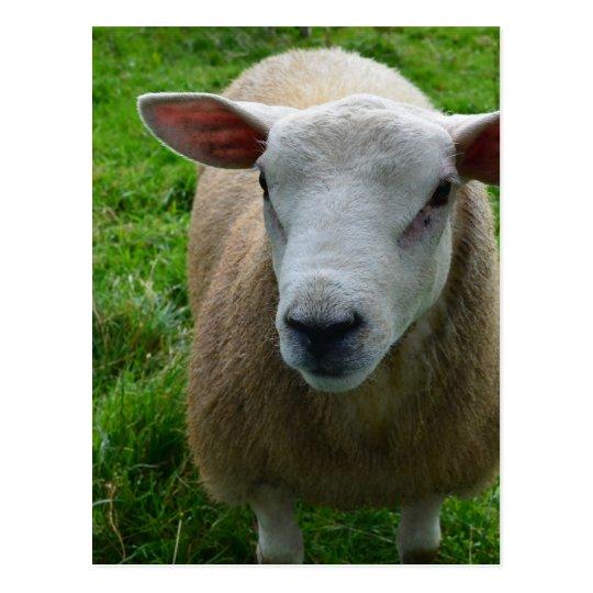 Cute Scottish Sheep Postcard