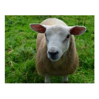 Cute Scottish Sheep Post Card