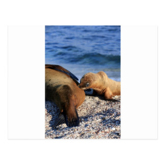 Cute sea lion pup suckling from mother on beach postcard