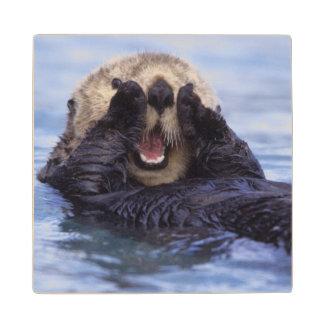 Cute Sea Otter | Alaska, USA Maple Wood Coaster