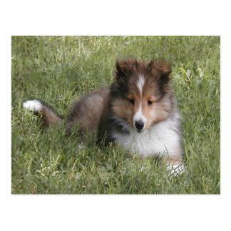 Cute Shetland Sheepdog puppy lying in grass Postcard