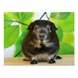 Cute Silver Fox Guinea Pig Postcard