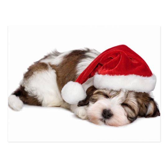 Cute Sleeping Havanese Puppy Dog Is Dreaming Postcard