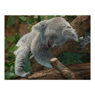 Cute Sleeping Koala Bear Poster
