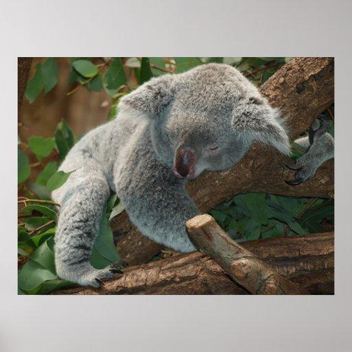 Cute Sleeping Koala Bear Posters