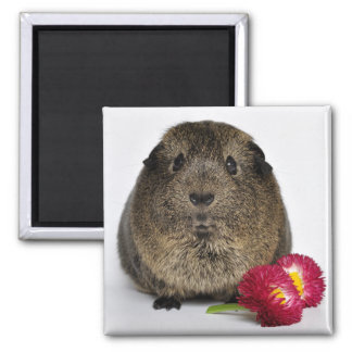 Cute, Smooth, Lemon Agouti Guinea Pig with Flowers Magnet