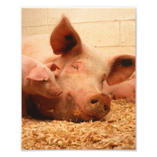 Cute Sow with Piglets Photographic Print
