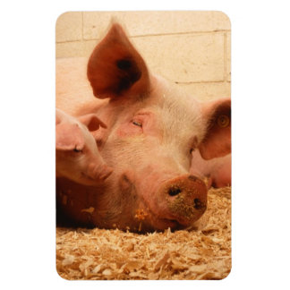 Cute Sow with Piglets Magnets