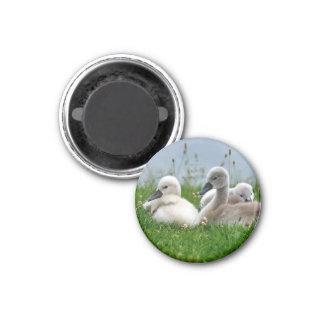 Cute Swan Babies - Magnet