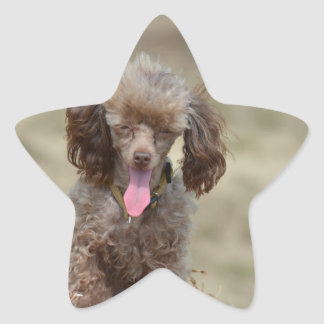 Cute Toy Poodle Star Stickers
