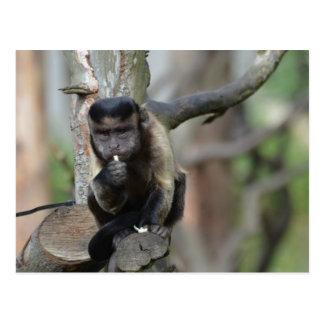 Cute Tufted Capuchin Monkey Postcard