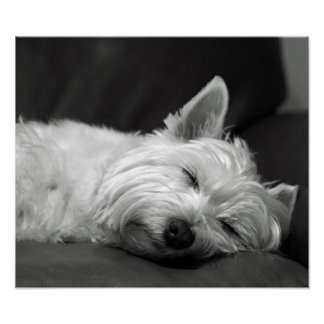 Cute Westie (West Highland Terrier) Dog Poster