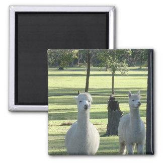 Cute White Alpaca Boys In Green Meadow Full Of Tre Magnet