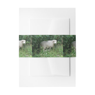 Cute White Fluffy Sheep Eating Invite Belly Bands Invitation Belly Band
