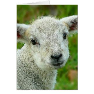Cute white little lamb card