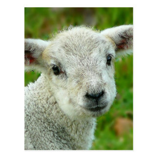 Cute white little lamb post cards