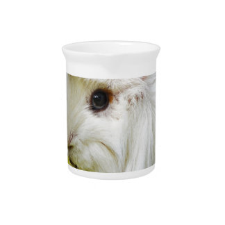 Cute White Long Hair Guinea Pig Eating Apple Pitcher
