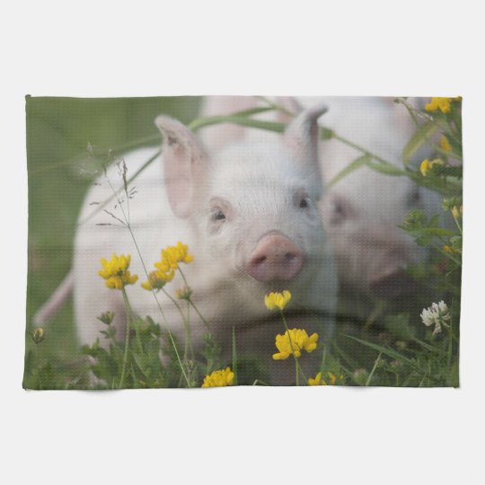 Cute White Piglet in Field of Yellow Flowers