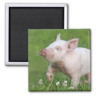 Cute White Piglet Smelling Flower Square Magnet