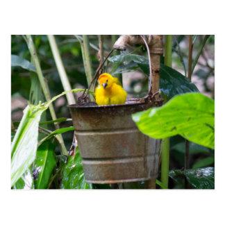 Cute, yellow bird bathing in a bucket postcard