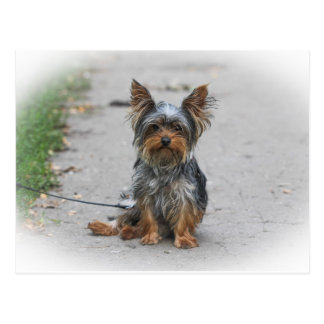 Cute Yorkie Postcard