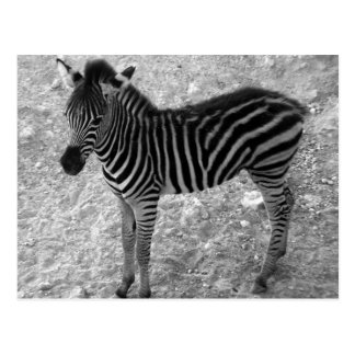 cute zebra calf postcard