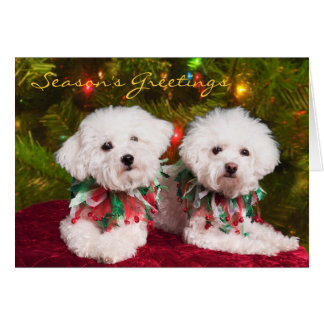 Cutest Bichons Frise dogs Christmas card
