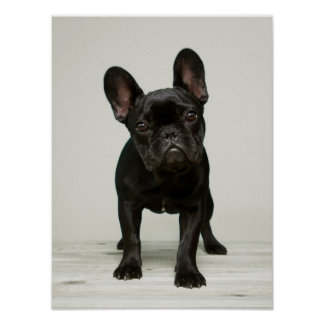 Cutest French Bulldog Puppy Poster