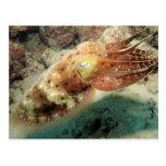 Cuttlefish, Great Barrier Reef, Cairns, Australia Postcard