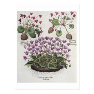 Cyclamen: 1.Cyclamen serotinum foliis hederaceis; Postcard