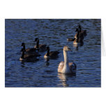 Cygnet and Geese