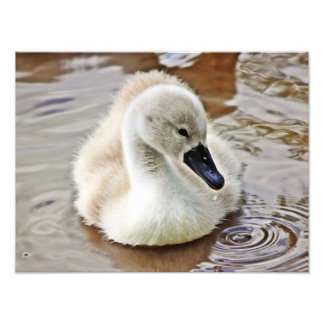 Cygnet Water Drop Photographic Print