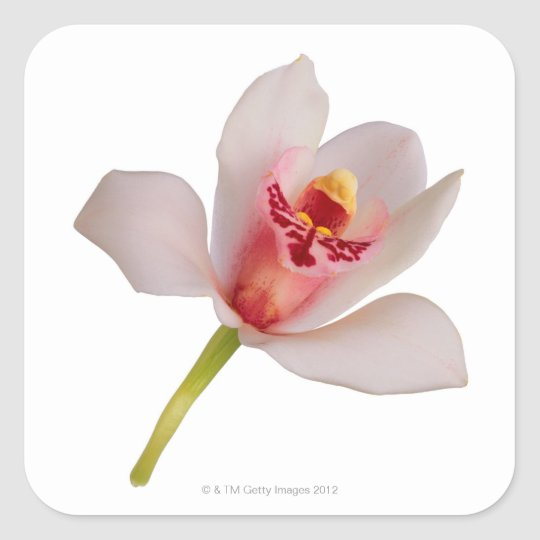 Cymbidium Orchid Square Sticker