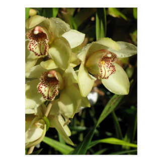 Cymbidium Orchids postcard, customize Postcard