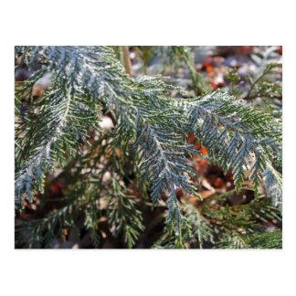 Cypress Frost Postcard