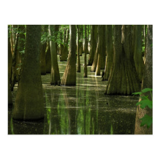 Cypress Swamp Postcard