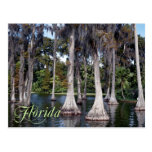 Cypress trees in Winter Haven, Florida Postcard