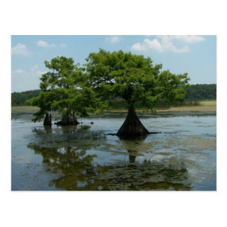 Cypress Trees Post Card
