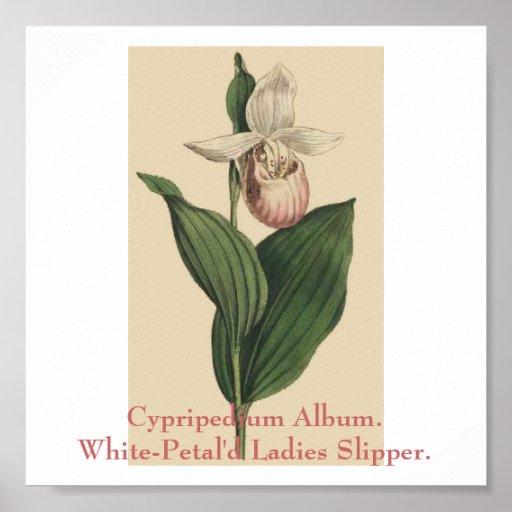 Cypripedium Album. White-Petal'd Ladies Slipper. Poster