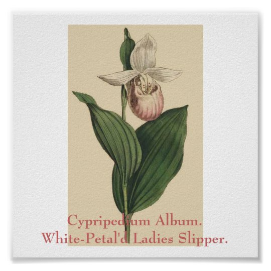 Cypripedium Album. White-Petal'd Ladies Slipper. Poster