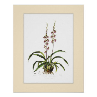 Cyrtochilum bictoniense by Miss S A Drake Poster